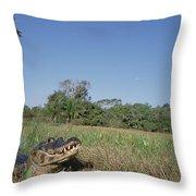 Jacare Caiman In Marshland Pantanal Throw Pillow