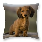 Long-haired Dachshund Puppy Throw Pillow