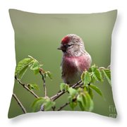 Male Lesser Redpoll  Carduelis Cabaret Throw Pillow