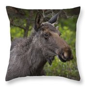 Male Moose   #5696 Throw Pillow