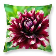 Maroon And White Dahlia Flower In The Garden Throw Pillow