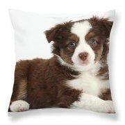 Miniature American Shepherd Puppies Throw Pillow
