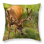 Mule Deer In Beaver Meadows In Rocky Mountain National Park Throw Pillow