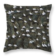 Northern Gannet Colony Shetland Islands Throw Pillow