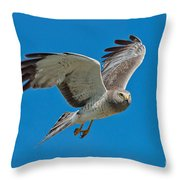 Northern Harrier Male In Flight Throw Pillow