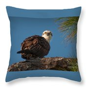 Osprey In Pine 3 Throw Pillow