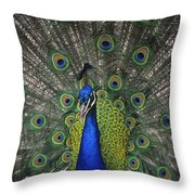 Peacock In Open Feathers, Victoria, Bc Throw Pillow