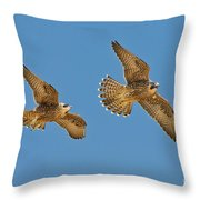 Peregrine Siblings Chasing Each Other Throw Pillow