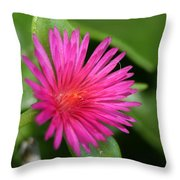 Pink Flower Of Succulent Carpet Weed  Throw Pillow