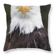 Portrait Of A Bald Eagle In Gaspesie Throw Pillow