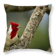 Red Crested Cardinal Throw Pillow by Belinda Greb