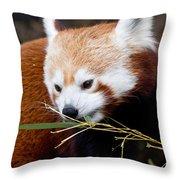 Red Panda  Ailurus Fulgens In Captivity Throw Pillow
