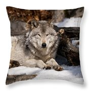 Resting Timber Wolf Throw Pillow