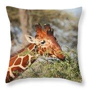 Reticulated Giraffe Browsing Acacia Kenya Throw Pillow