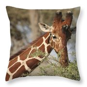 Reticulated Giraffe Feeding On Acacia Throw Pillow