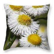 Robin's Plantain Wildflowers - Erigeron Pulchellus Throw Pillow