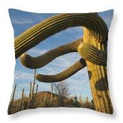 Saguaro Cacti Saguaro Np Arizona Throw Pillow