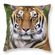Siberian Tiger Staring Endangered Species Wildlife Rescue Throw Pillow