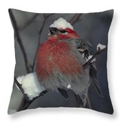 Snow Covered Pine Grosbeak Throw Pillow