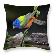 Thirsty Painted Bunting Throw Pillow
