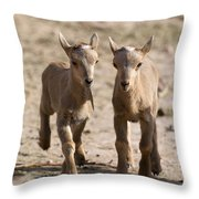 Two Aoudad Babies Playing Throw Pillow