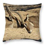 Waterbuck Fight Throw Pillow