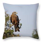 Yellow-billed Kite  Milvus Aegyptius Throw Pillow