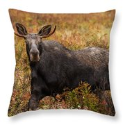 Young Bull Moose Being Aggressive Throw Pillow