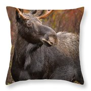 Young Bull Moose Throw Pillow