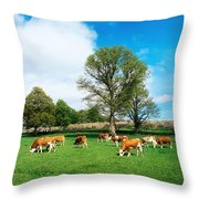 Hereford Bullocks Throw Pillow