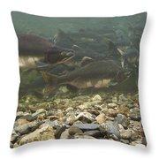 Pink Salmon Oncorhynchus Gorbuscha Throw Pillow
