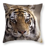 Tiger, Qinhuangdao Zoo, Hebei Province Throw Pillow