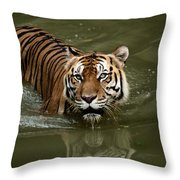 A Captive Sumatran Tiger Panthera Throw Pillow