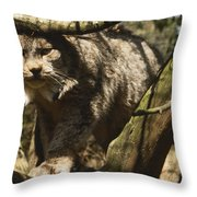 A Female Northern Lynx With Her Thick Throw Pillow