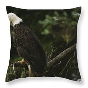 A Mature Bald Eagle Is Perched Atop Throw Pillow