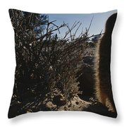 A Meerkat Suricata Suricatta Stands Throw Pillow