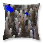 A Pair Of Yellowtail Damselfish Amongst Throw Pillow
