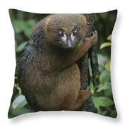 A Red-bellied Lemur Clings To A Tree Throw Pillow