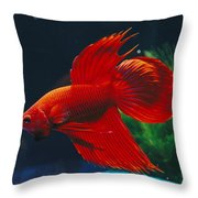 A Red Siamese Fighting Fish In An Throw Pillow