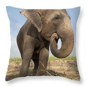 A Rescued Asian Elephant Eats Sugar Throw Pillow
