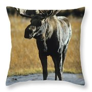 A Young Bull Moose Throw Pillow