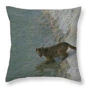 A Young Mountain Lion Prepares To Take Throw Pillow
