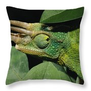 African Male Jacksons Chameleon Throw Pillow