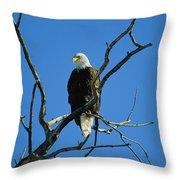 American Bald Eagle Haliaeetus Throw Pillow
