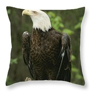 An American Bald Eagle Perches Atop Throw Pillow