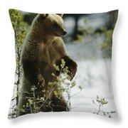 An Brown Bear Ursus Arctos Runs Throw Pillow