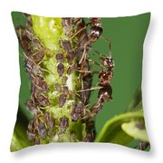 Ant Formicidae Pair Protecting Aphids Throw Pillow