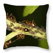 Ants Tending Aphids Throw Pillow