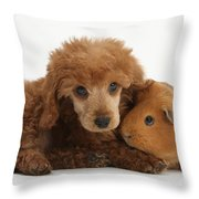 Apricot Miniature Poodle Pup With Red Throw Pillow