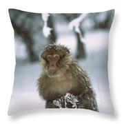Barbary Macaque Macaca Sylvanus Male Throw Pillow